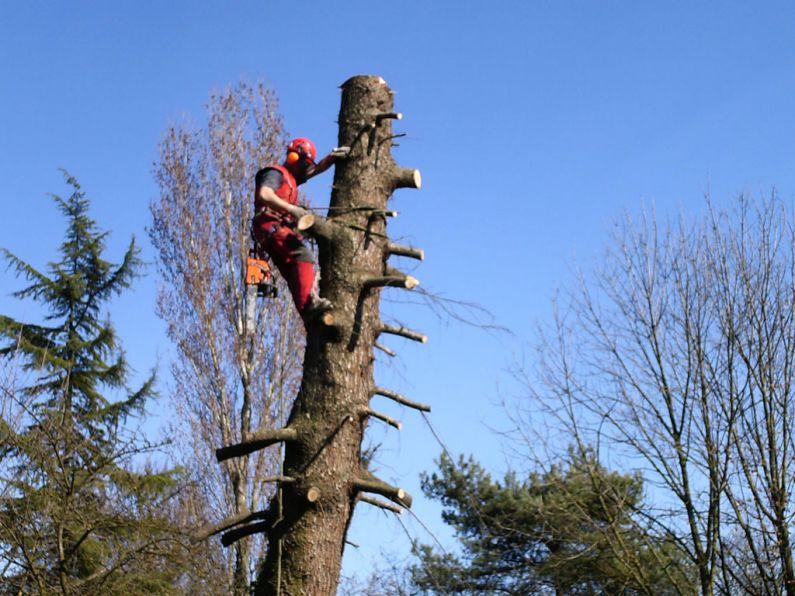 Abbattimento alberi pericolanti di grossa altezza in sicurezza con imbragature