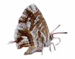 Immagine della farfallina del geranio
